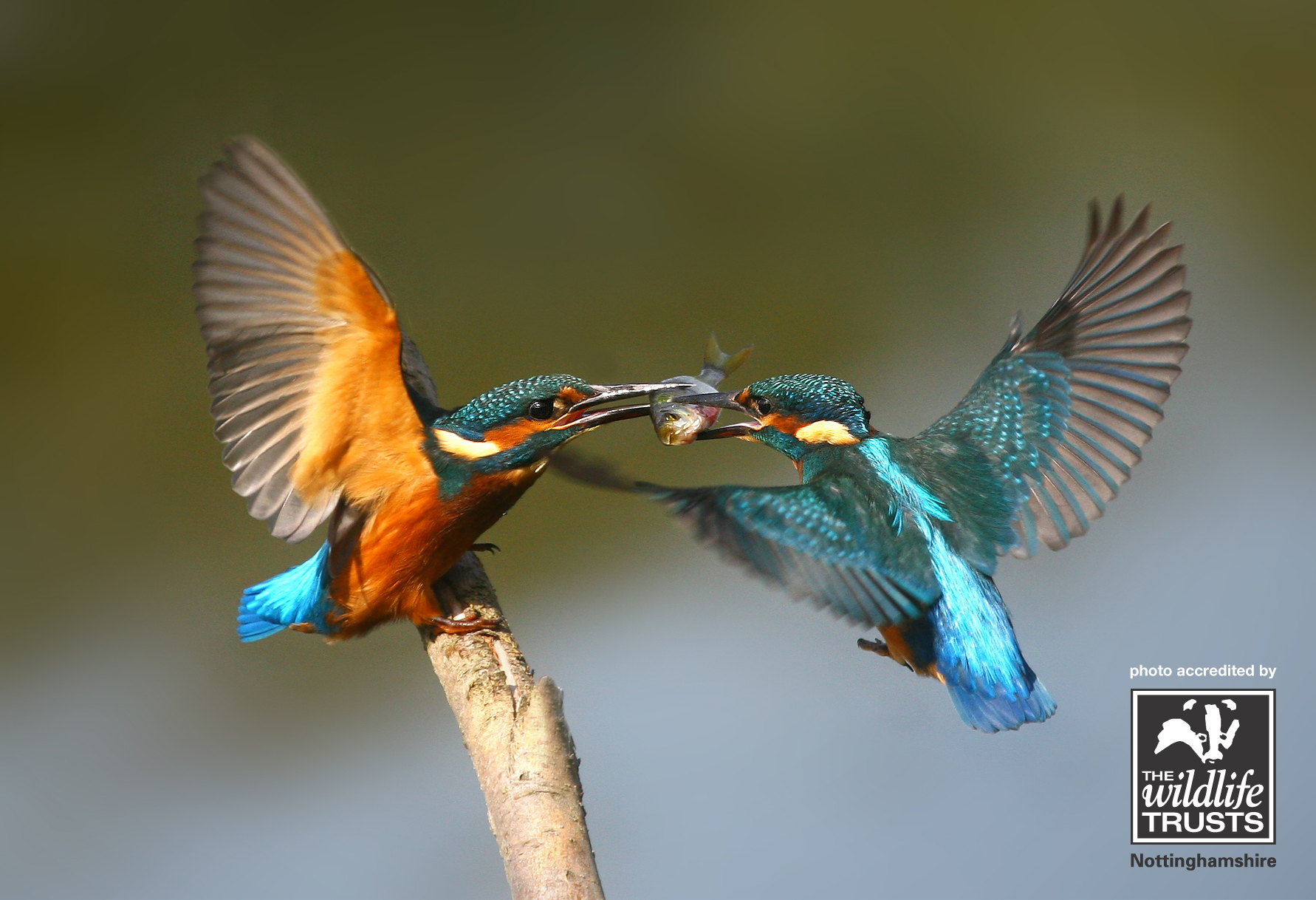 Kingfisher - Nottinghamshire Wildlife Trust